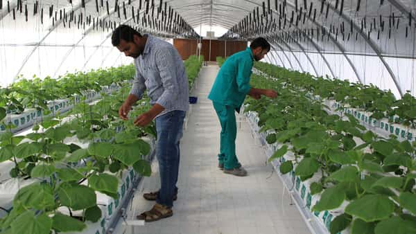 Armed With Cows Chickens And Greenhouses Qatar Takes On