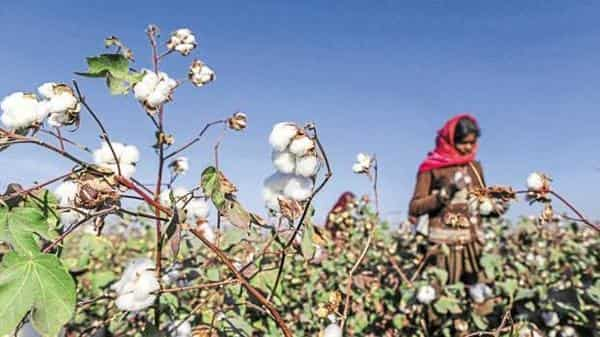 Domestic cotton prices have been ruling firm on speculation of a shortfall in production for season 2018-19. (Photo: Bloomberg)