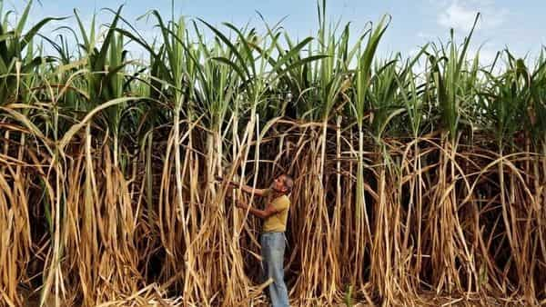 Ethanol availability from sugar mills and grain-based producers for oil refiners will probably remain flat at 1.9 billion liters in the 12 months starting December 1. (Reuters)