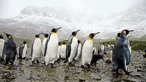 Until 2019, around 14,000-25,000 pairs of breeding emperor penguins would gather every year at Halley Bay colony in Antarctica. (iStockphoto)