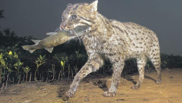 Fishing cats have webbed feet for swimming and fishing. (Photo: Anjani Kumar)
