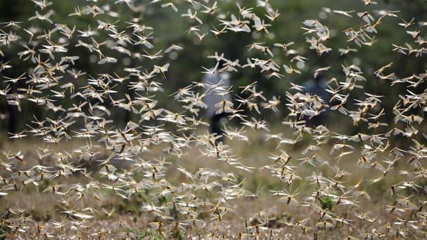 A swarm of desert locusts (REUTERS)