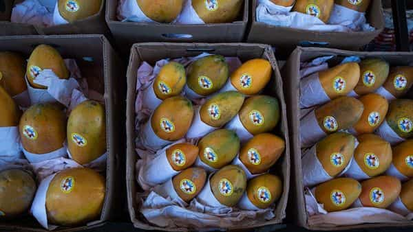 The papaya farm's owner explained the details of his 75% loss on the crop during the lock-down (Photo: Bloomberg)