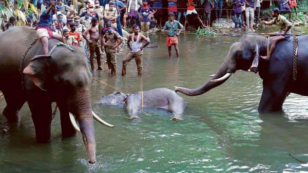 The body of the elephant being retrieved from the Velliyar river inPalakkaddistrictofKerala.  (Photo: AFP)