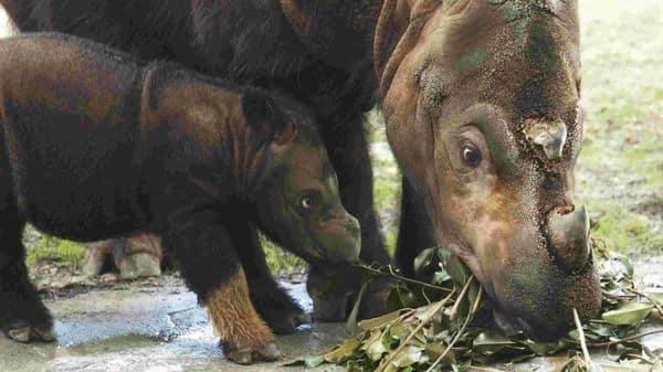 Over 500 species, like the Sumatran Rhino, will go extinct soon. (Photo: Getty Images)