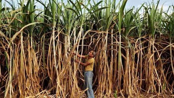 A farmer works in his sugarcane field