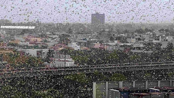 Swarms of locusts fly over a DLF area, in Gurugram (ANI)