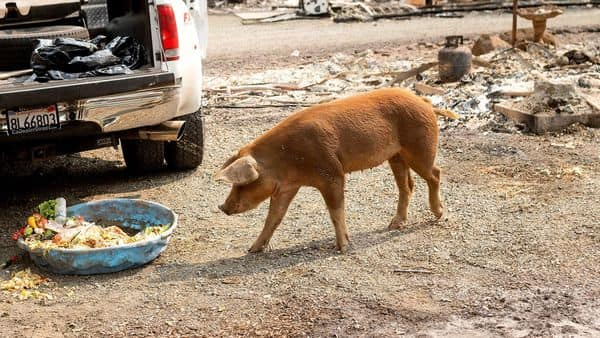 The European Union's top pork producer and a key supplier to China, the largest consumer, has been training dogs to sniff out dead wild boar. (AP)