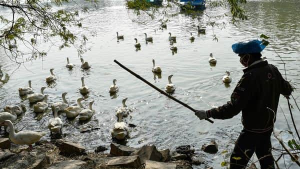 New Delhi: A horticulture team member gather ducks and geese at Sanjay Lake for medication following reports of bird flu cases, in New Delhi, Monday, Jan. 11, 2021.  (PTI Photo/Ravi Choudhary)(PTI01_11_2021_000086A) (PTI)