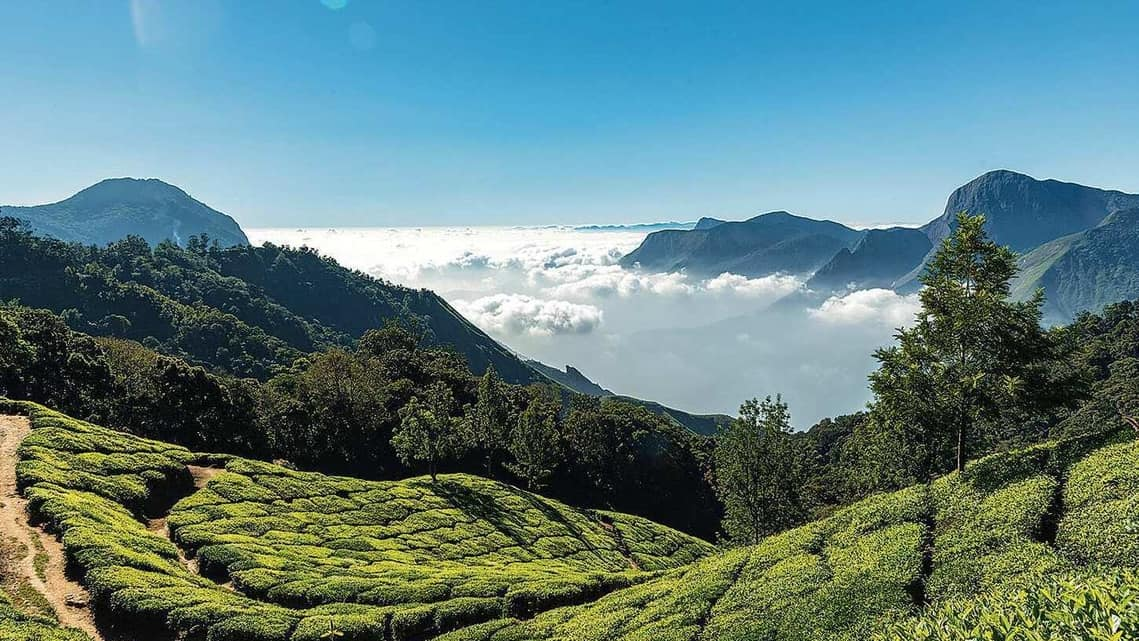 Most tea regions across India close for winter because the plants are dormant—but not the Nilgiris. (Photo: iStockPhoto)