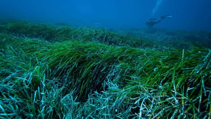 This undated handout photograph by the University of Barcelona shows an underwater view of a 'Posidonia Oceanica' seagrass meadow in the Mediterranean Sea. (Photo credit: AFP Photo/ University of Barcelona/ Jordi Regàs)