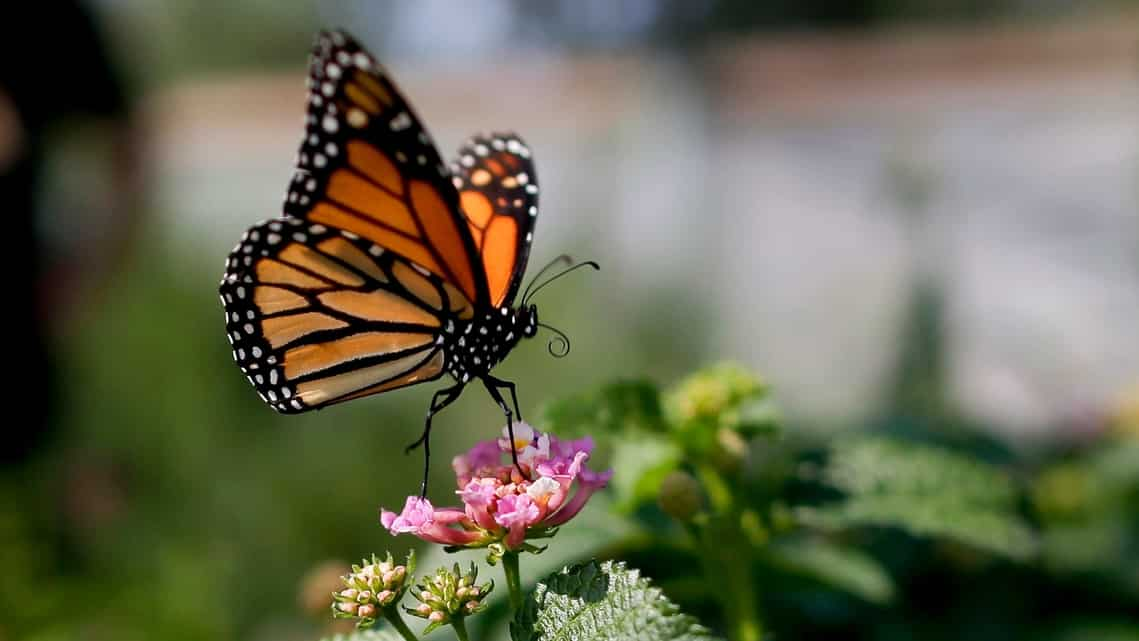 This file photo from August 2015 shows a monarch butterfly in Vista, California. The number of western monarch butterflies wintering along the California coast has plummeted to a new record low, putting the orange-and-black insects closer to extinction. (AP Photo/Gregory Bull, File)