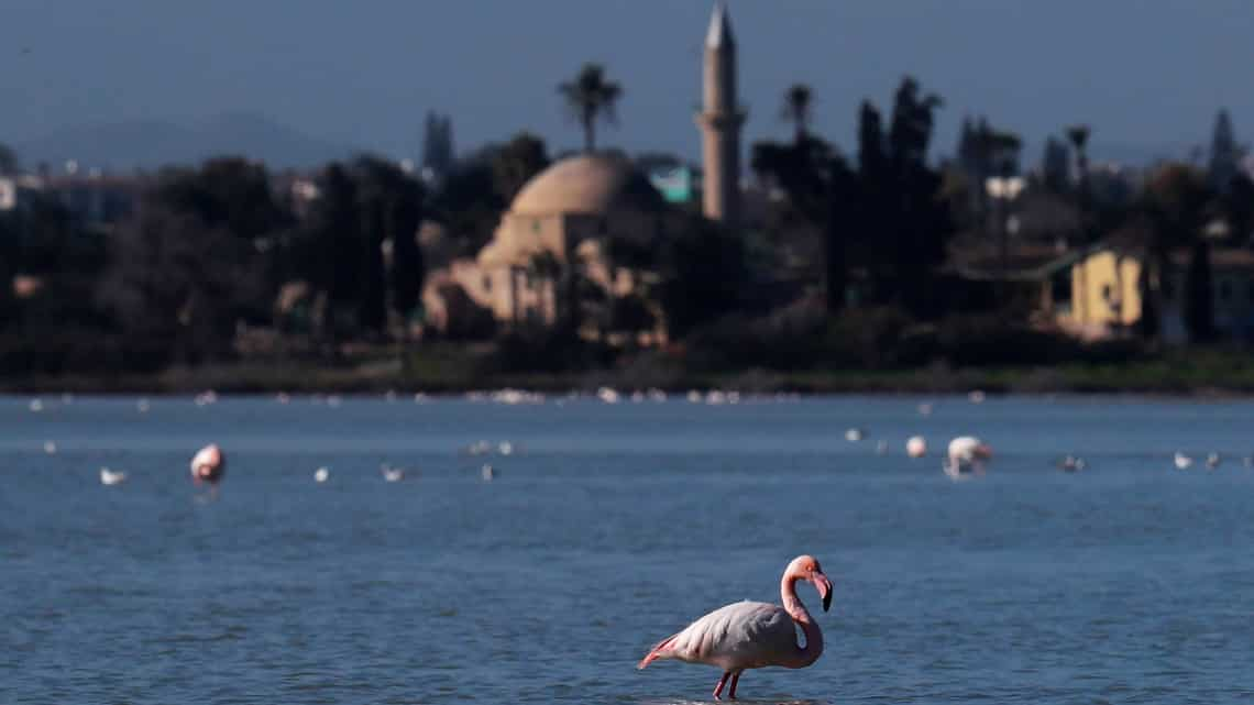 In Cyprus, migrating flamingos face threat from lead pellets