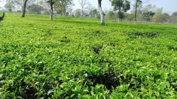 It aims to solve prevalent problems of the $1.65 billion tea industry with the amalgamation of computer vision, IoT and molecular science. (Photo: Mint)