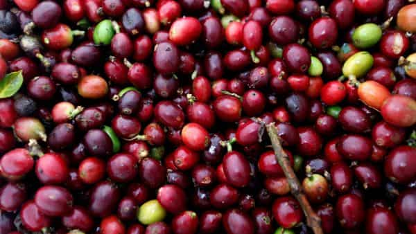 Unlike roasters in the US, Europe's coffee makers can't as easily use supplies of robusta coffee from Brazil due to the taste of their products. (REUTERS)