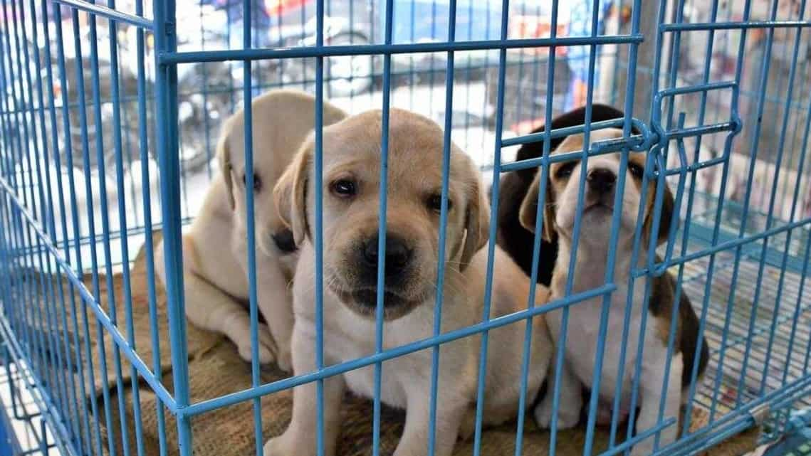Listings of pure breed puppies and kittens are being sold for as cheap as 9.9 RMB ($1.50).