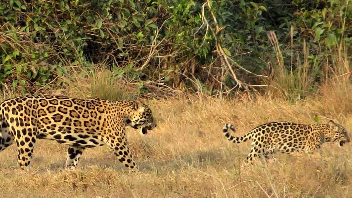 About 55 other Colombian farms too are now sacrificing part of their farm as natural reserve to better their relations with the Jaguars.