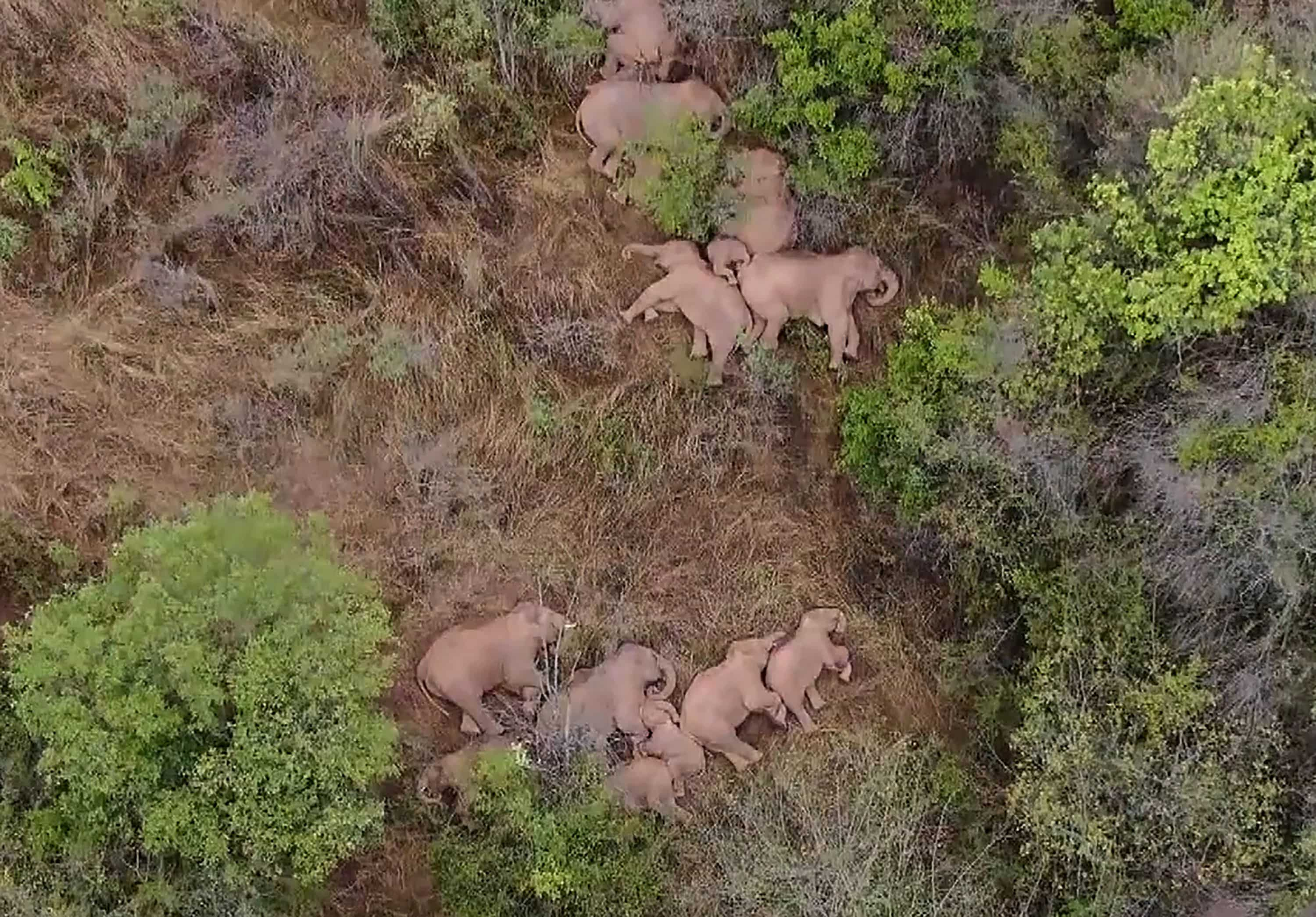 Eelephants, part of a herd which had wandered 500 kilometres north from their natural habitat, resting in a forest near Kunming, in China's southwest Yunnan province.