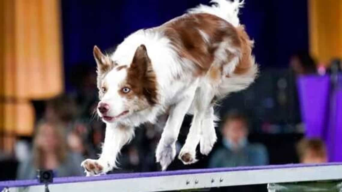 Furgus, a border collie, competes during the finals of the agility competition at the Westminster Kennel Club dog show in Tarrytown, New York. Photo: AP/ Mary Altaffer