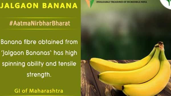 In 2016, the GI certification for the region's banana was registered with Nisargraja Krishi Vigyan Kendra (KVK) Jalgaon. (Photo: Twitter @APEDADOC)