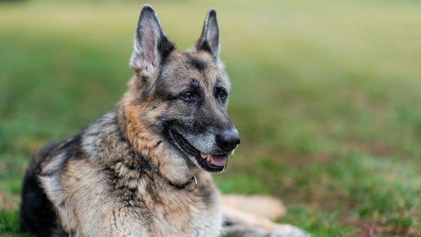 German Shepherd Champ