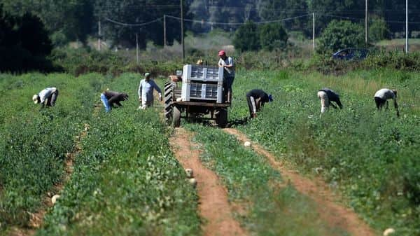 Migrants labourers work in the fields in the village of Bella Farnia near the coastal city of Sabaudia, South of Rome. (AFP)