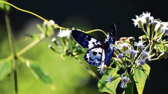 A Blue Tiger moth (dysphania percota).