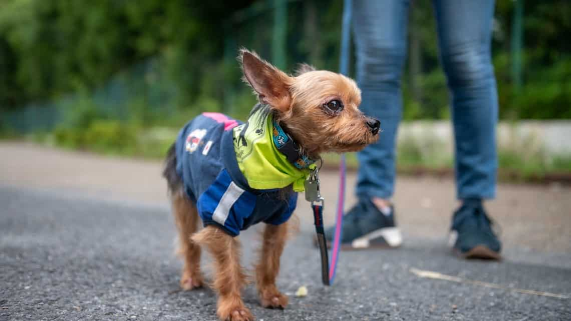 A nine-year-old Yorkshire Terrier waiting to take part in the Wan-Wan Patrol to an elementary school in Tokyo. Photo: Philip Fong/AFP