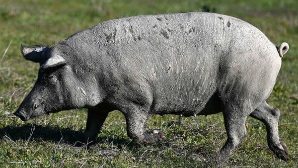 Picture for representation. These days, mega pig complexes that don't rely on other farms for sows, fodder and labour are a pillar of China's food security. (AFP)