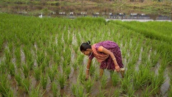 Experts believe that the next couple of weeks are going to be crucial as most of Kharif sowing should get completed by mid-August. (AP File)