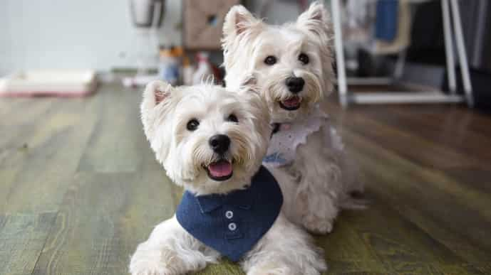This photo taken on August 29, 2021 shows white terriers Sasha and Piper (L) in the home of dog owner Carrie Er in Singapore. (Photo by Catherine LAI / AFP)