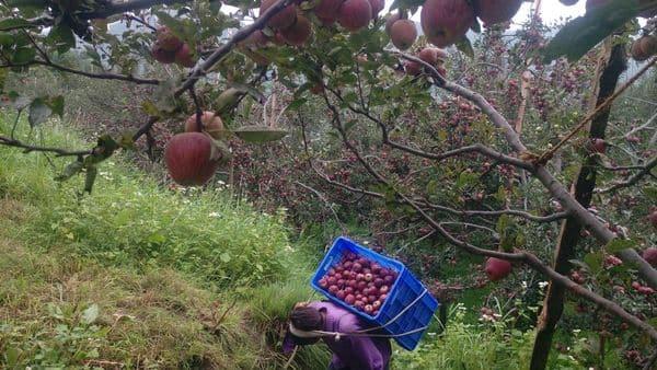 Himachal Pradesh: A man plucks apples in an orchard at a village in Kotkhai, Shimla District.