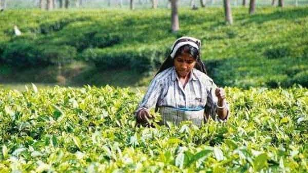 The processing of tea generates a lot of waste, generally in the form of tea dust. This could be converted to useful substances.