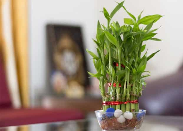 Three Layer Lucky Bamboo A Feng Shui Endorsed Plant 329 Available On Rollingnature