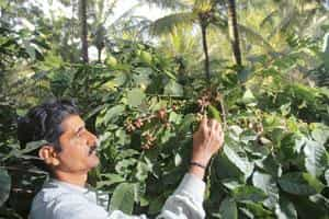 coffee production in kerala