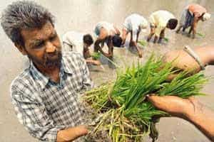 Sowing woes: Saplings being planted in a paddy field on the outskirts of Amritsar in Punjab. Farmers in the state are dependent on migrant labourers, who usually come from Uttar Pradesh and Bihar. ( N