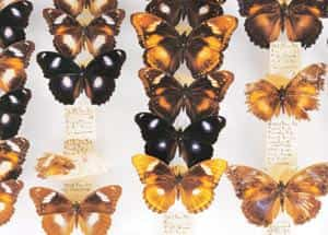 Tracking change: Museum specimen of butterflies in trays. British scientists have discovered that the sex ratio of a tropical butterfly called Great Eggfly has changed swiftly, driven by a bacterium c