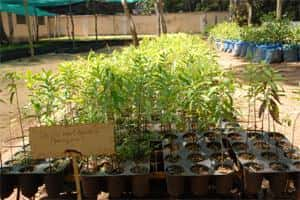 Nine-month-old sandalwood plants which will later be grafted with a host plant at the Institute of Wood Science and Technology in Bangalore.