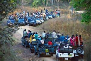 Tourist jeeps crowd a tiger at the Kanha National Park in Madhya Pradesh. Photo: Ponnambalam/Conservation India