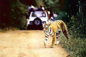 A file photo of a tiger at Ranthambore national park in Rajasthan. A tiger task force formed in 2005 said tourism activities should not be allowed in the core area of national parks and tiger reserves