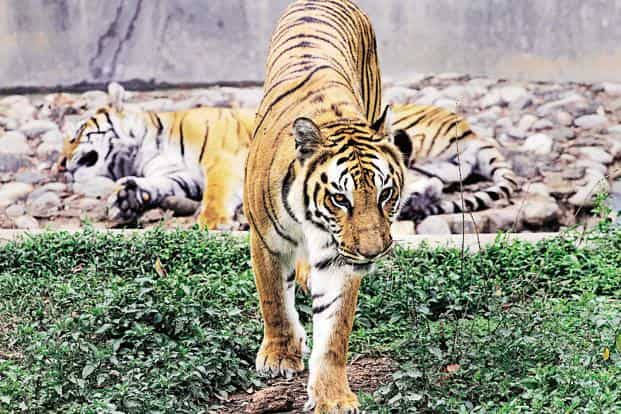 Project Tiger got `167.7 crore of the `340.06 crore allocated to wildlife preservation in the last budget. Photo: Anupam Nath/AP