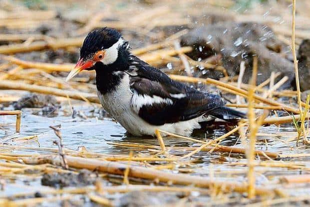 Asian pied starling. Photo: Courtesy Thomas Mathew