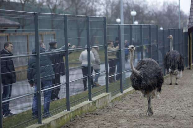 Anti-government protesters and journalists look at Ostriches kept within an enclosure on the grounds of the Mezhyhirya residence. Yanukovich's residence is half the size of Monaco and is just one hour's drive from Kiev. Reuters