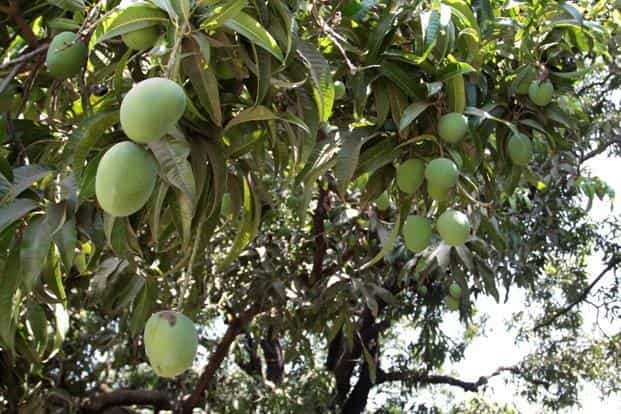 The UK imports nearly 16 million mangoes from India and the market for the fruit is worth nearly £6 million a year. Photo: Mint