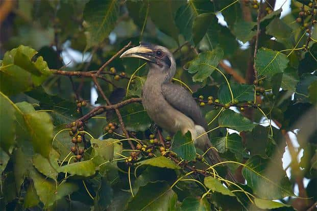 Indian grey hornbill: In many Indian cities, you will find at least one species of hornbill, which is the smallest– the Indian grey hornbill. Ramki Sreenivasan