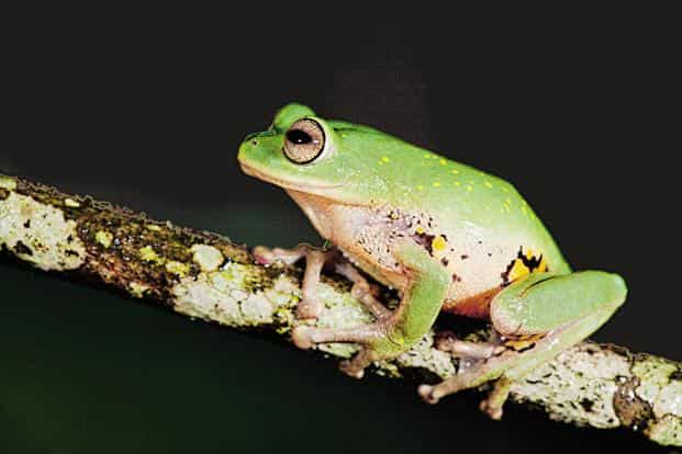Raorchestes emeraldi from fragmented forests of Valparai plateau, Anaimalai. Photo: Vijayakumar S.P.