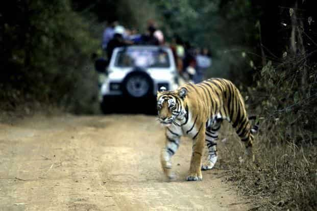 The numbers mark a significant improvement from 2006 when the number of tigers in India was estimated at 1,411. Photo: AFP