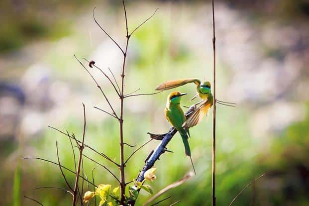 Even if you aren't a birdwatcher, you will probably notice the little green bee-eater going about its merry business.