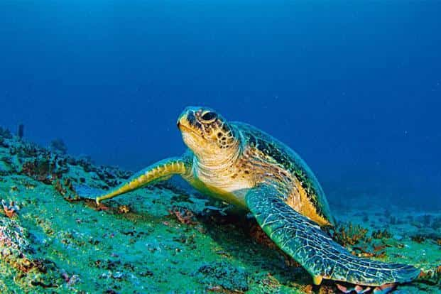 The endangered Green Turtle is known to migrate long distances between its feeding and nesting grounds