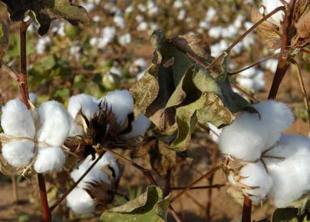 Textile industry urges CCI to offload cotton stock